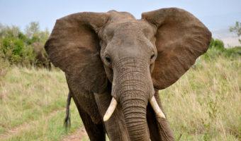 elephant-1-340x200